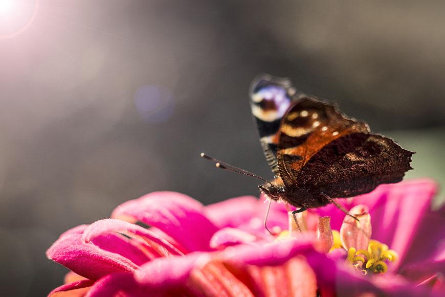 Zittow_Garten_Schmetterlinge_Blumen-4975-Bearbeitet